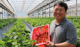 Trải nghiệm hái dâu tại Hàn Quốc – 딸기따기 체험