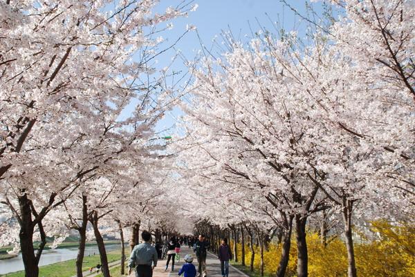 Du lịch Hàn Quốc mùa hoa anh đào nở rộ
